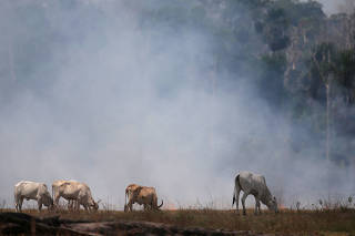 FILE PHOTO: Cattle graze on a smoldering field that was hit by a fire burning a tract of the Amazon forest as it is cleared by farmers, in Rio Pardo