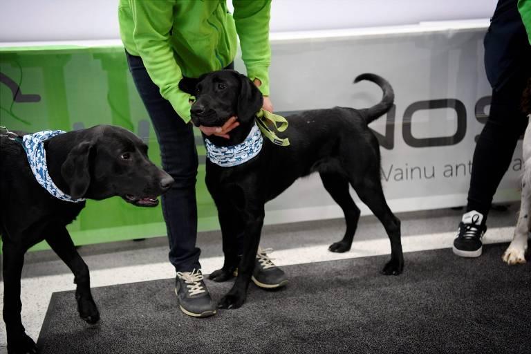 Cães são usados para detectar coronavírus em aeroporto de Helsinque