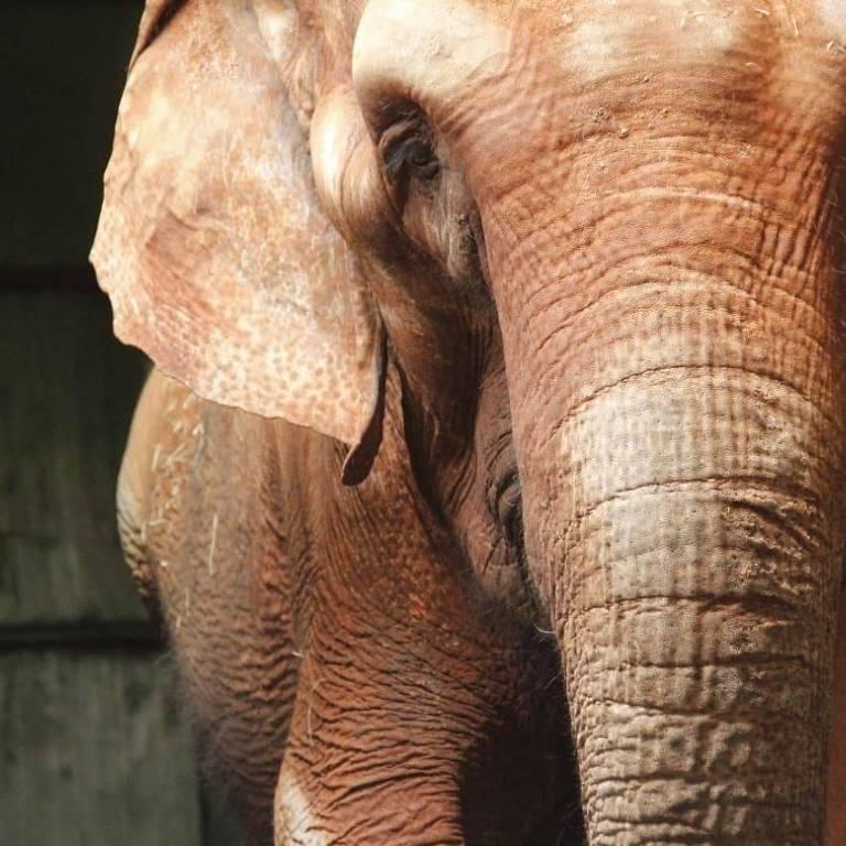 Conheça a elefanta indiana Bambi de 58 anos, que foi transferida para o Santuário de Elefantes do Brasil