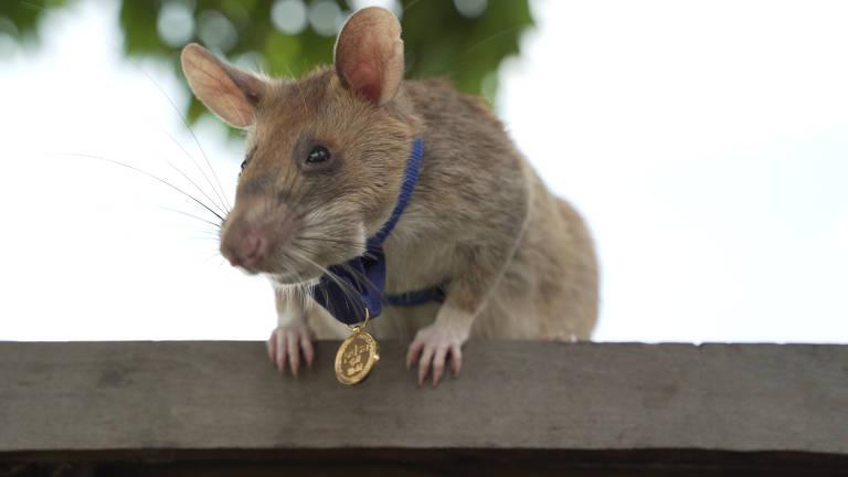 Magawa, um rato farejador de minas, é fotografado em Siem Reap, Camboja