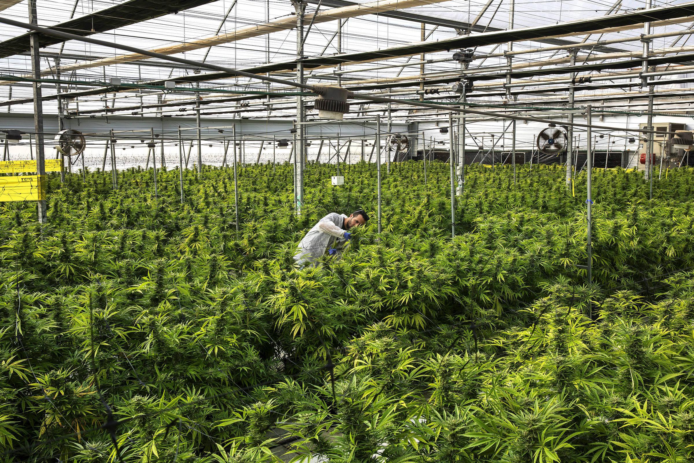 Plantas de maconha em estufa da Breath of Life Pharma, perto de Tel Aviv