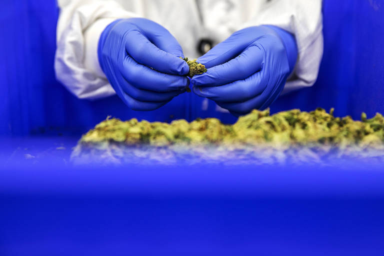 Funcionário manuseia cânabis na linha de produção da Bazelet, empresa israelense de maconha medicinal, em Tel Aviv