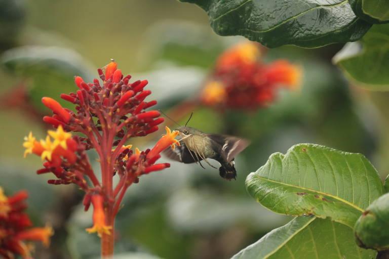Mariposa do gênero Aellopos que se parece com beija-flor