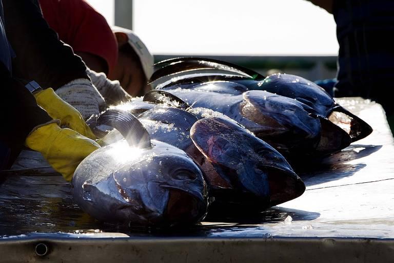 Pesca de atum; o peixe é um dos mais exportados pelo Brasil para a China