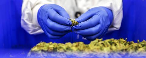 TEL AVIV, ISRAEL. 03/03/2020. Funcionario manuseia cannabis na linha de producao da Bazelet, empresa israelense de maconha medicinal. ( Foto: Lalo de Almeida/ Folhapress ) MUNDO *** EXCLUSIVO FOLHA*** ORG XMIT: AGEN2003120940184132