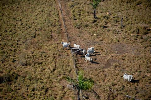 Gigantes da pecuária do Brasil compram gado direto de fazendas ilegais, diz investigação de ONG