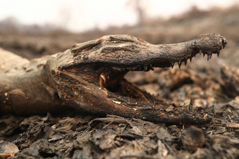 Cabeça de jacaré de boca aberta queimada como folha seca