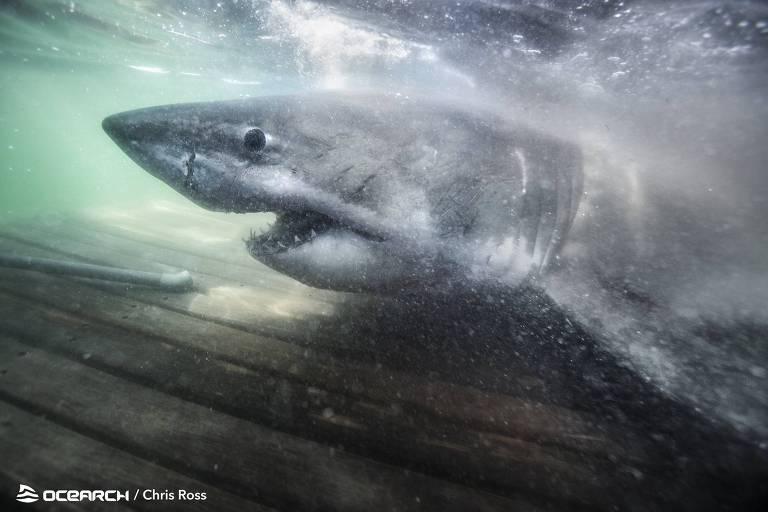 Nukumi é um tubarão-fêmea conhecida como 'Rainha do Oceano'