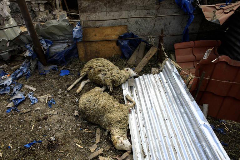 Ovelhas mortas após ataque na vila de Qaracinar, cidade azeri perto das áreas ocupadas por armênios