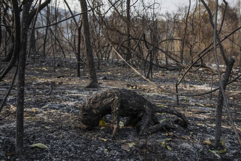 Corpo de um macaco bugio carbonizado ajoelhado em meio à uma floresta destruída pelo fogo.