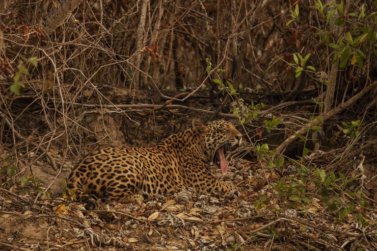Onça-pintada descansa próxima a vegetação queimada às margens do rio Paraguai, no trajeto para a Serra do Amolar, no Pantanal