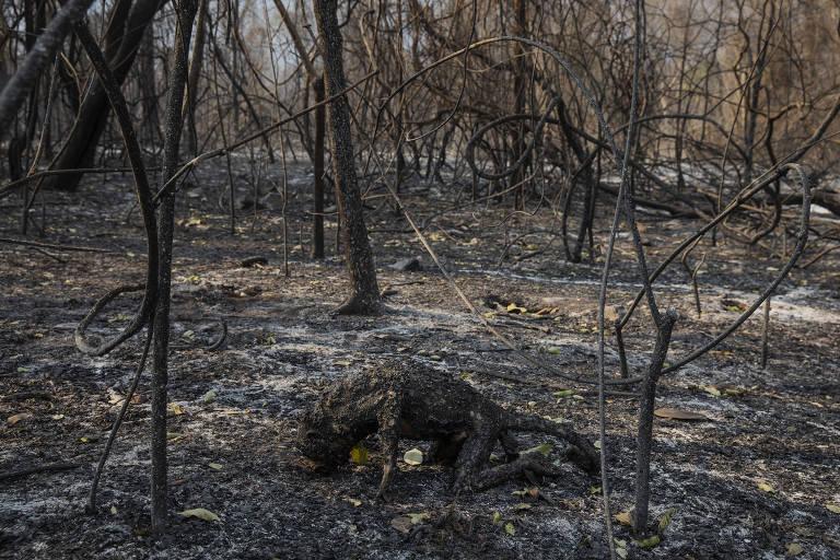 Corpo de um macaco bugio calcinado por um incêndio florestal que atingiu a fazenda Santa Tereza, na região da Serra do Amolar, no Pantanal, em Mato Grosso do Sul