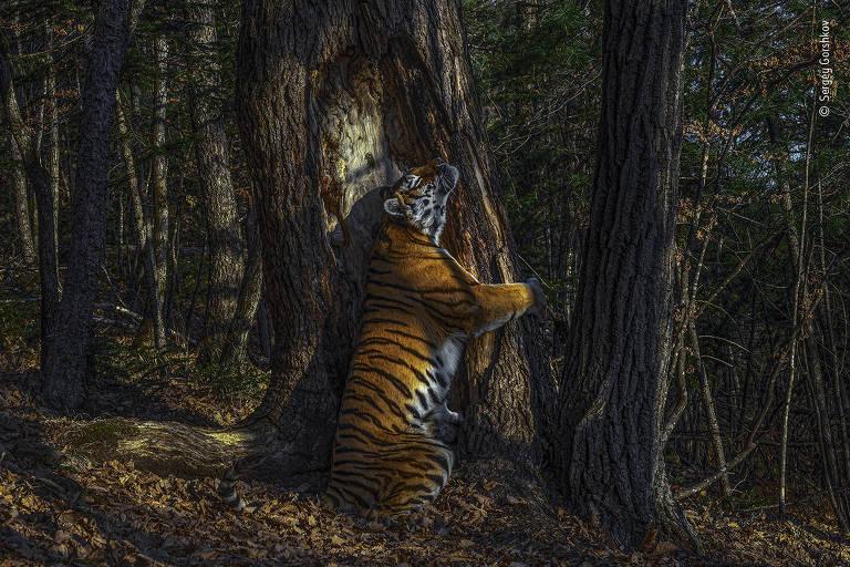 tigre abraça árvore
