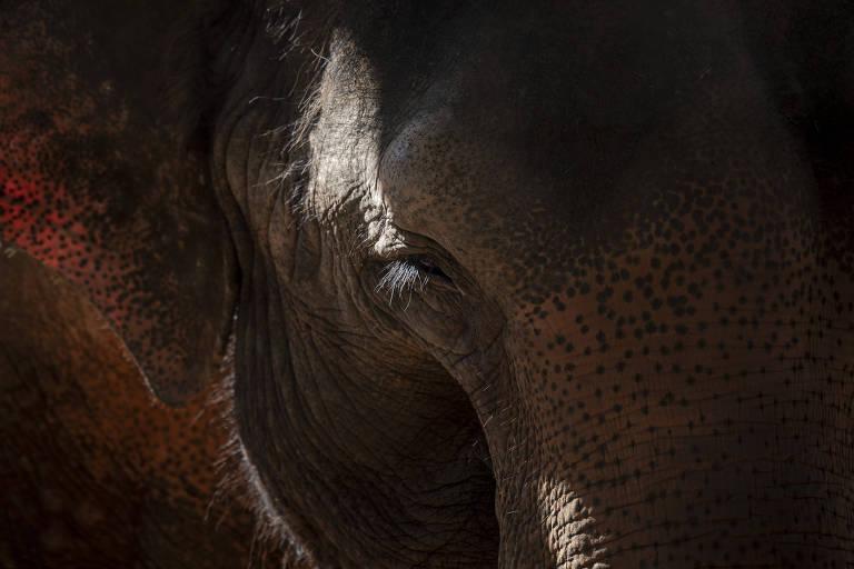 História do Elefante do Top