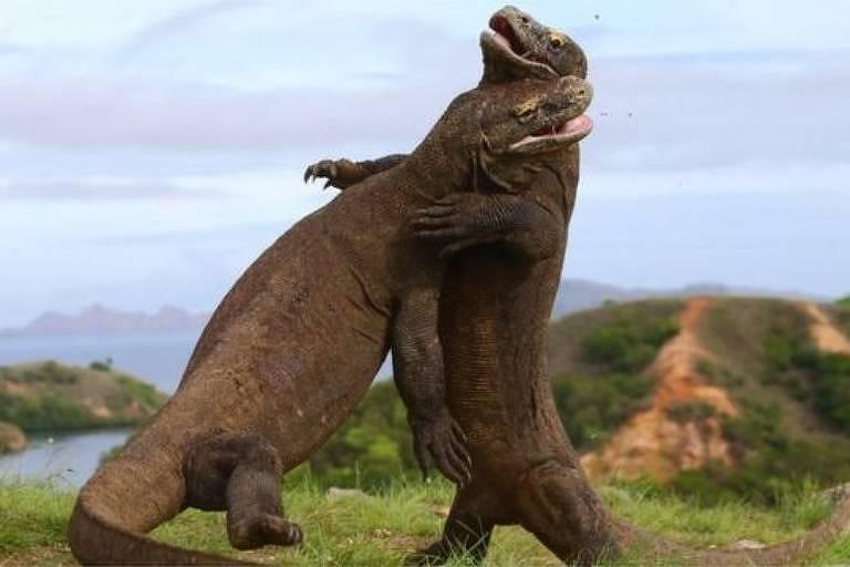 Os dragões-de-omodo são os maiores lagartos do mundo