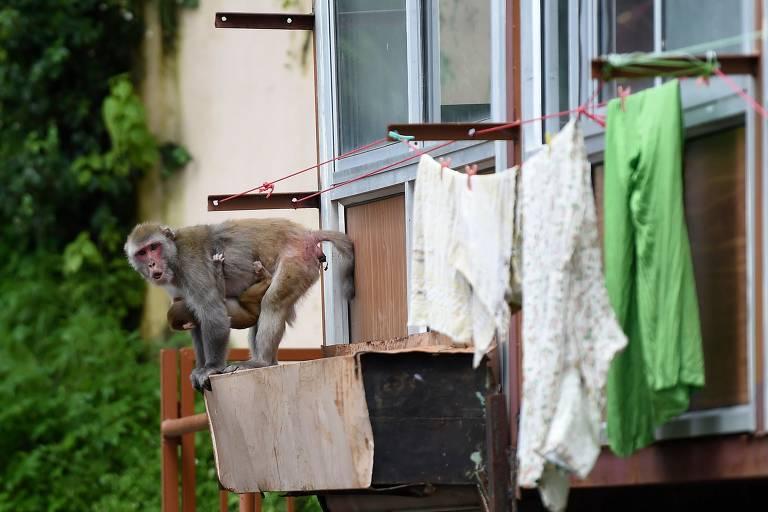 Macacos são vistos em uma área residencial em Shimla. - Milhares de macacos estão ameaçando a histórica cidade indiana de Shimla, onde esterilizações e envenenamentos ilegais não conseguiram conter seus frequentes ataques a turistas e fazendas