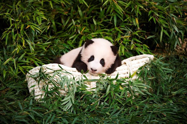 Panda Fu Bao em Yongin, na Coreia do Sul