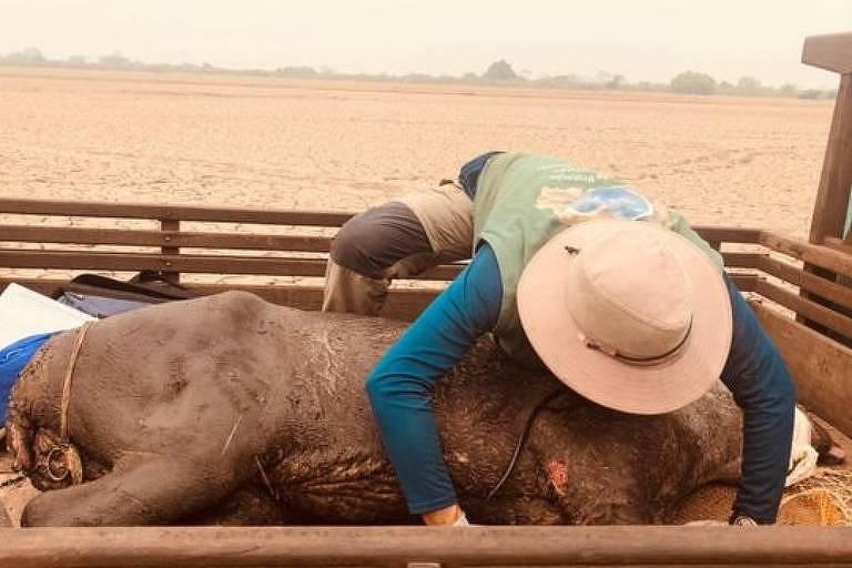 Diversos animais, como esta anta, foram resgatados na região da Serra do Amolar nas últimas semanas