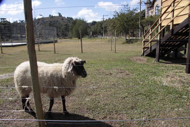 ovelha cercada em um pasto
