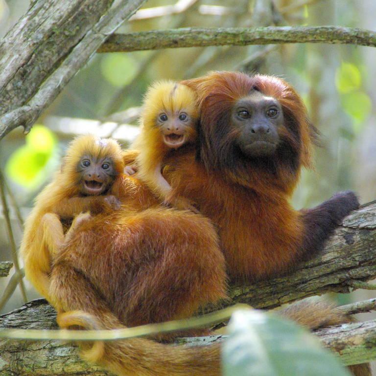 Dois filhotinhos de mico-leão-dourado nas costas da mãe em uma árvore, todos olhando para a câmera