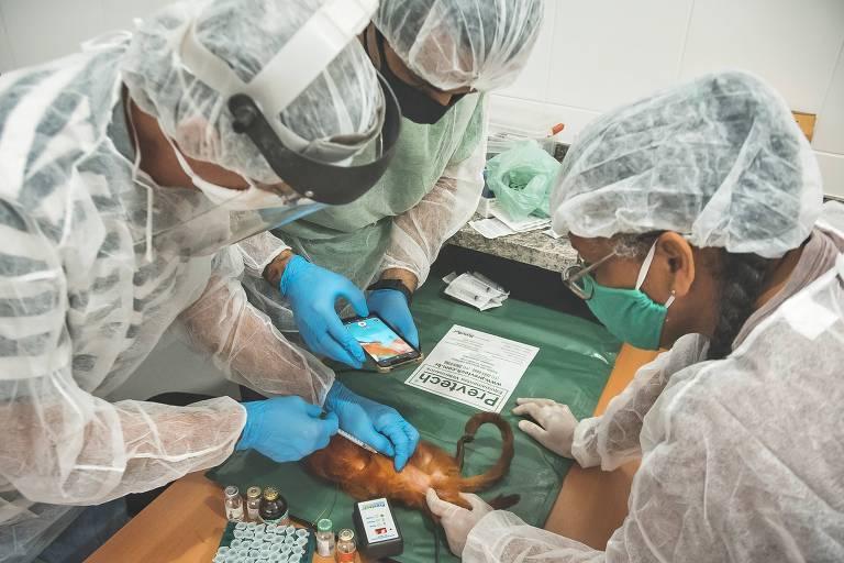 Três pessoas com indumentária de laboratório, com máscaras e luvas, vacinam um pequeno mico
