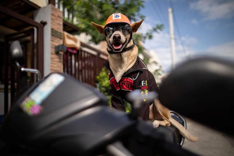 Imagem mostra cachorro de pelo curto de cor bege com um capacete de laranja, óculos escuros e jaqueta preta com detalhes vermelhos, em cima de uma moto.
