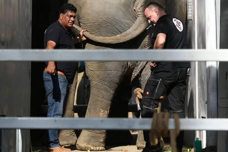 """O elefante Kaavan, de 36 anos, viveu durante anos em um zoológico do Paquistão, onde sofreu maus-tratos e se tornou conhecido por ser o """"elefante mais solitário do mundo"""". Apesar da administração do zoológico negar as acusações, o animal foi transferido para Oddar Meanchey, em Camboja, onde irá viver em um santuário de vida silvestre com 600 outros elefantes."""