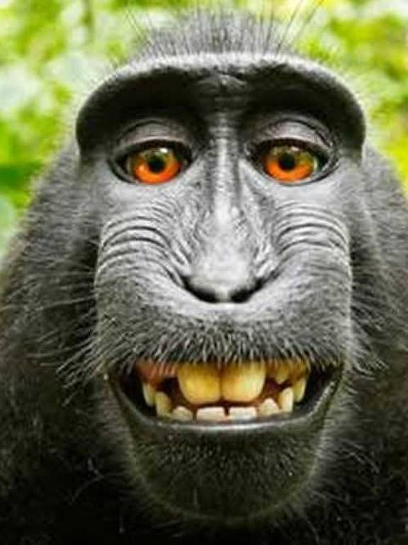 Foto do rosto da fêmea da espécie macaca nigra feita com o equipamento fotográfico de David Slater
