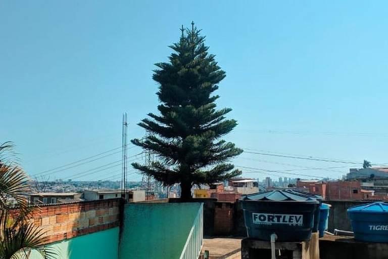 Plantado na zona leste de SP há 37 anos, pinheiro atravessa 4 andares de casa