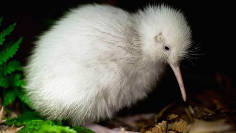 Morre Manukura, a rara ave kiwi branca que inspirou brinquedos e livro infantil