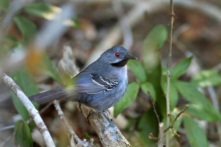 Conservação de aves no Brasil