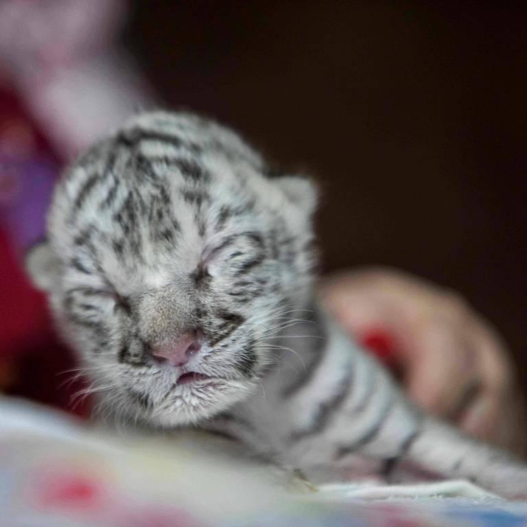 Marina Arguello cuida de uma tigresa branca recém-nascida chamada Snow no National Zoo em Masaya, Nicarágua