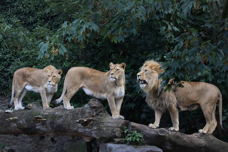 Duas leoas e um leão do zoo Artis, em Amsterdã