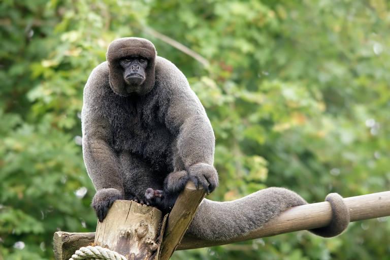 Lagothrix lagothricha (Macaco-barrigudo) , espécies é classificada como vulneráveis à extinção; precisam de grupos sociais com vários membros para se desenvolver e podem ser muito agressivas, trazendo perigo a potenciais donos. Isso vale para todos os demais primatas nativos do Brasil