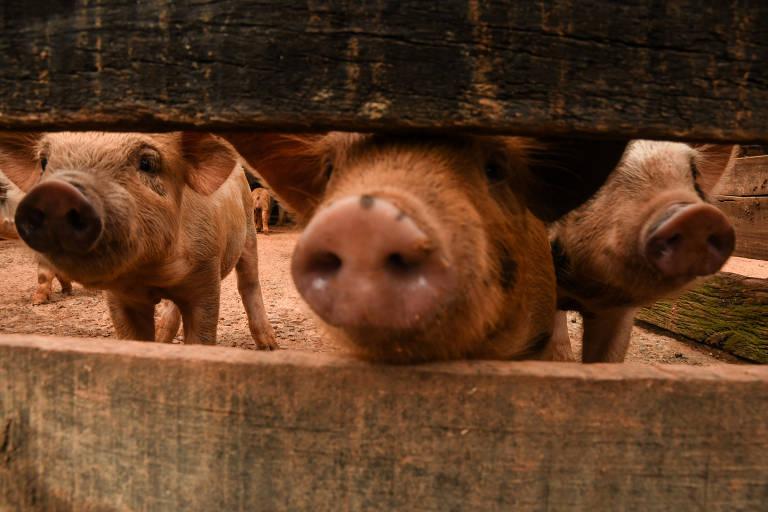 Carne suína para a China pode estar com os meses contados