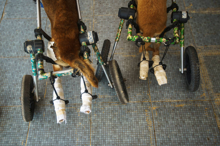 Minha cachorra paraplégica me fez olhar para animais como seres plenos de direitos
