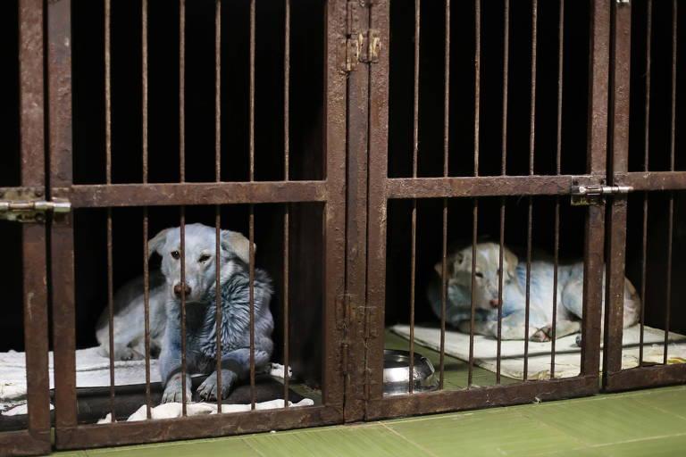 Cães azuis na Rússia