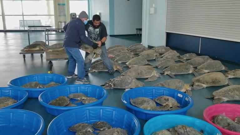 Voluntários resgatam milhares de tartarugas marinhas