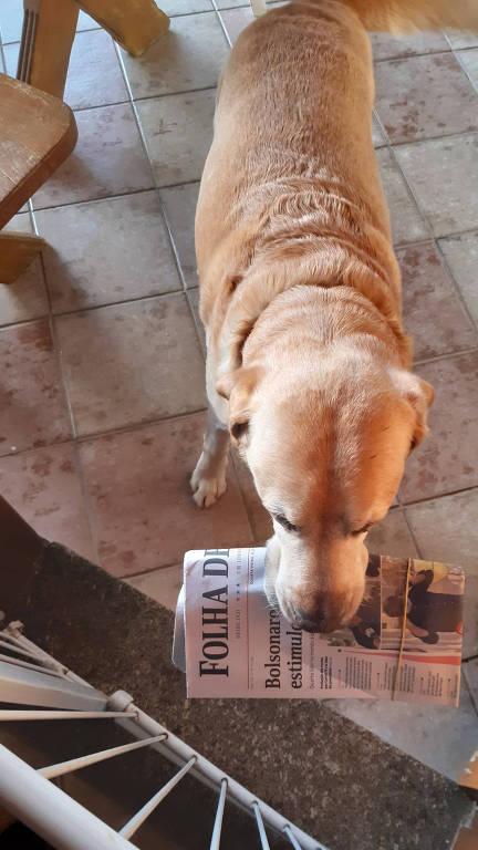 O labrador Skoll, que todas as manhãs entrega a Folha a seu dono, segura o jornal diante da entrada da casa