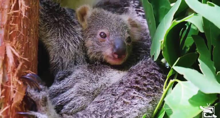 O primeiro filhote de coala nascido em mais de um ano no Zoológico Taronga de Sydney finalmente saiu da bolsa da mãe, disseram funcionários do zoológico nesta quarta-feira, 24 de fevereiro de 2021