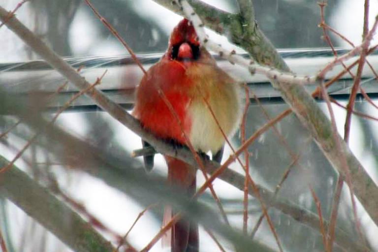 Imagens do pássaro Cardeal do Norte