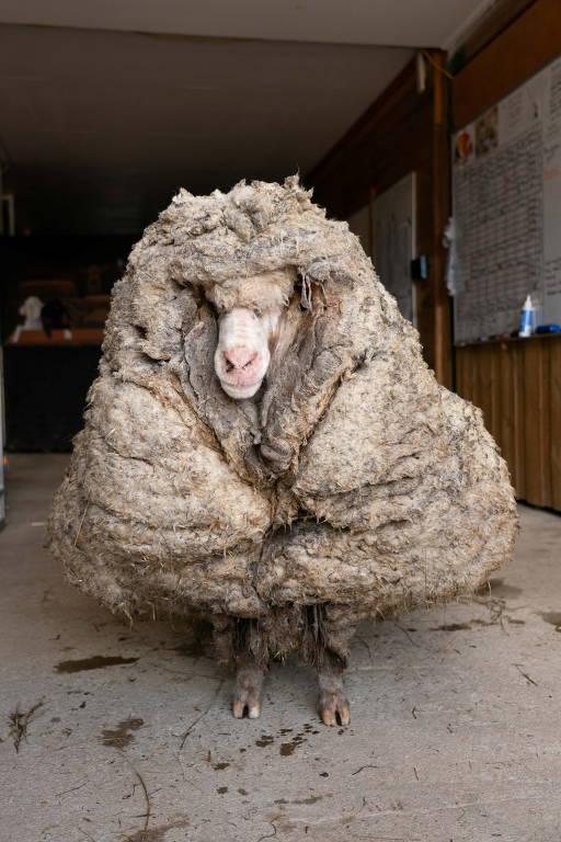 Ovelha  Baarack é visto antes de sua lã grossa ser tosquiada em Lancefield, Victoria, Austrália