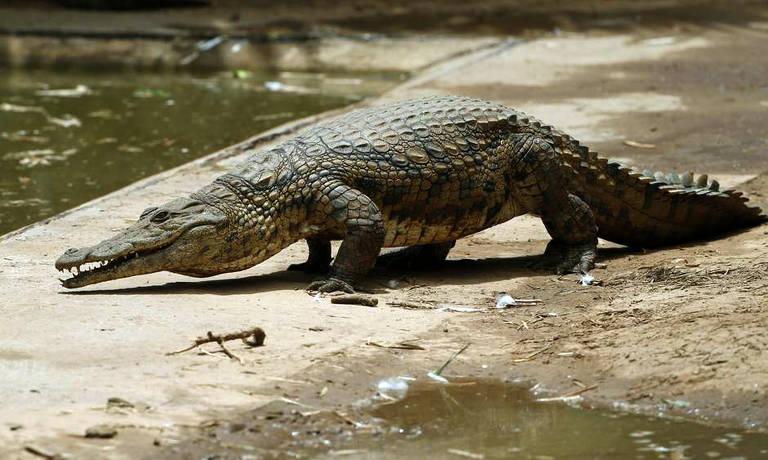Crocodilos jovens escapam de criadouro da África do Sul e viram alvo de caçada