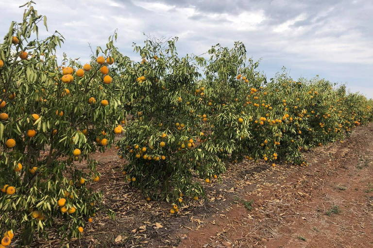 Imagem mostra pés de laranja pequenos, com frutas murchas, ao lado de uma estrada de terra
