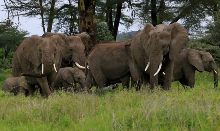 Elefantes no Santuário Kimana, parte de um corredor de vida selvagem crucial que liga o Parque Nacional Amboseli às áreas protegidas de Chyulu Hills e Tsavo, no Quênia