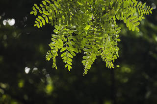 ***Arvores Tipuanas*** .  Detalhe de folhas da arvore tipuana no bairro Alto de Pinheiros.  A tipuna eh uma arvore nativas da Argentina e uma das mais comuns em SP plantadas na decada de 30)