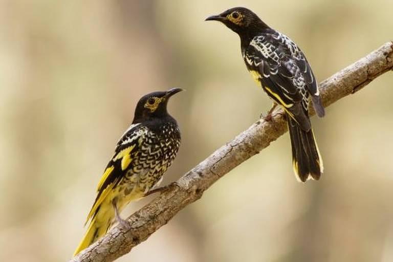 Os pesquisadores acreditam que ensinar pássaros criados em cativeiro a cantar pode ajudar nos esforços de conservação