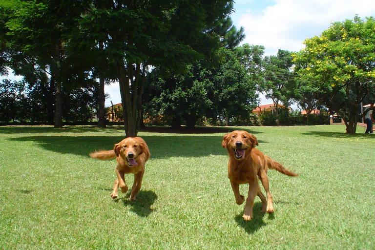 Dois cães da raça labrador correm em gramado, em direção à foto