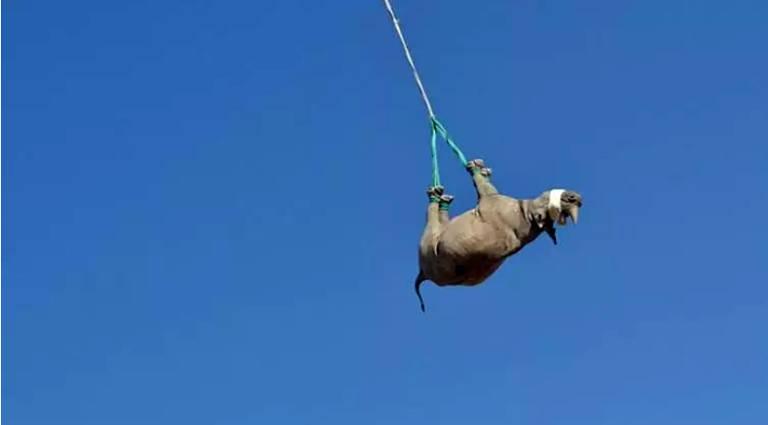 A suspensão de rinocerontes para transporte tem se mostrado como uma solução para a conservação da espécie