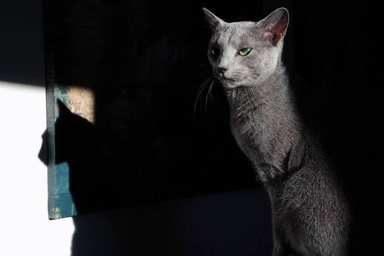 Sveta, gato da raça azul russo